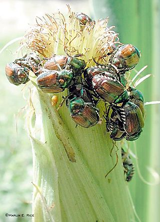 Japanese_beetle_corn